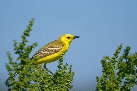 Bird - Citrine Wagtail (Motacilla citreola ) sitting on a branch of a bush sunny summer morning. Close-up.