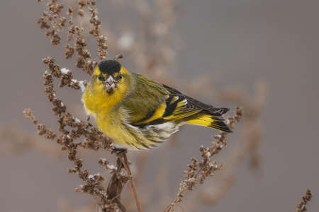 Bird - Eurasian Siskin (Spinus spinus) male ssits on dry grass and eats last year's seeds. Cloudy winter day. Close-up. Stok Fotoğraf
