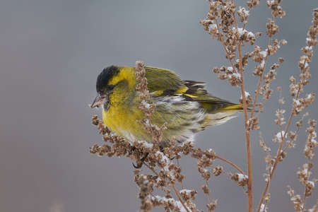 Bird - Eurasian Siskin (Spinus spinus) male ssits on dry grass and eats last year's seeds. Cloudy winter day. Close-up Stok Fotoğraf