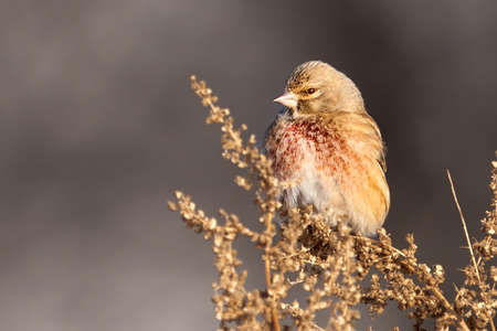 Bird - Common Linnet (Linaria cannabina) male sits on dry grass and eats last year's seeds. Sunny winter day. Close-up. Stok Fotoğraf