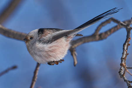 Bird - Long-tailed Tit (Aegithalos caudatus) sits on a branch of a bush and eats beetle larvae on a sunny winter day. Close-up. Stok Fotoğraf