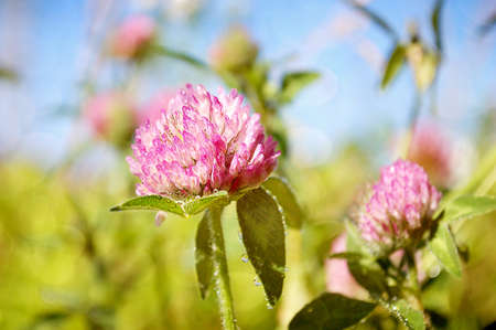 red clover: Selective focus on a blooming Red Clover Wildflower.