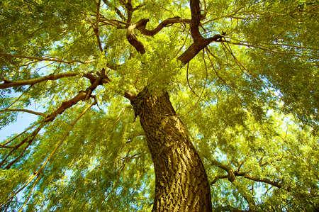 Willow tree canopy at Cedarvale Park, Toronto. photo