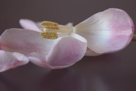wilting: Flor del tulip�n con los p�talos se marchitan aislados en mesa de madera oscura.