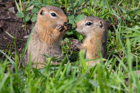 Family gophers on the green grass Stock Photo