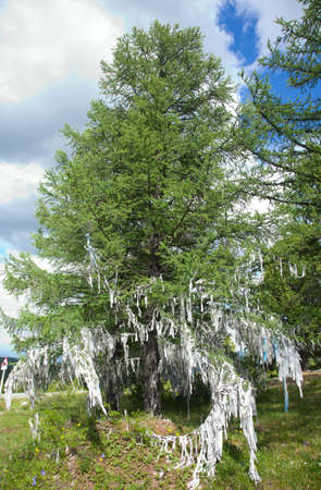 cedar tree: Shaman ribbons on conifer in the Altai Mountains