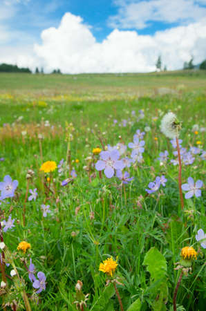 meadow on a summer day, with forget-me-not in the foreground photo