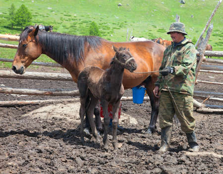 A man and a woman milking a horse that Kazakhs would make kumis Stock Photo - 12206293