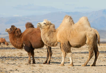 nomad: Bactrian camel in the steppes of Mongolia. True to transport a nomad