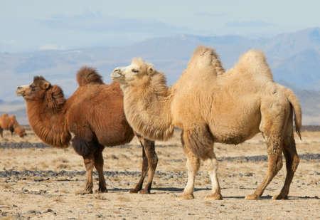 camello: Bactriano camellos en las estepas de Mongolia. Cierto para el transporte de un n�mada Foto de archivo