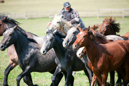 Man shepherd on horseback tending a herd of horses Stock Photo - 12185095