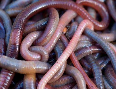 regenworm: Enorme hoeveelheid regenwormen in de buurt van vissen Stockfoto