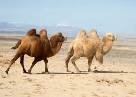 gobi desert: Bactrian camel in the steppes of Mongolia. True to transport a nomad