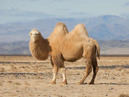 Chameau de Bactriane dans les steppes de Mongolie. Fidèle à transporter un nomade