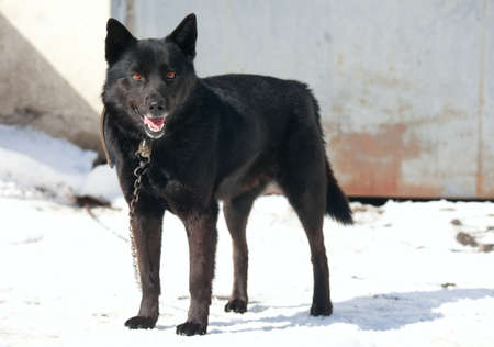 guarding: Black dog on a chain with a collar Stock Photo
