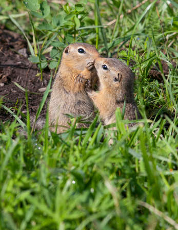 Family gophers on the green grass Stock Photo - 12924035