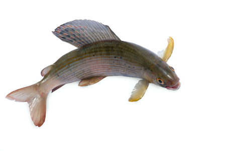 grayling: Arctic grayling or trout on white isolated background Stock Photo