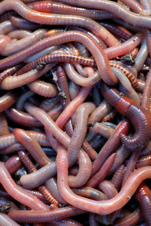 composting: Huge amount of earthworms close to fishing Stock Photo