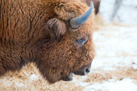 Bison winter day in the snow photo