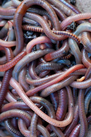 Huge amount of earthworms close to fishing Stock Photo - 13317711