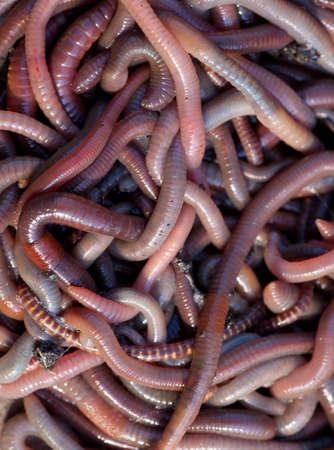 earthworms: Gran cantidad de lombrices de tierra cerca a la pesca