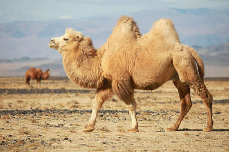 Bactrian camel in the steppes of Mongolia  True to transport a nomad