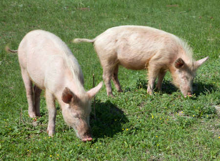 Dirty domestic pig on green grass photo