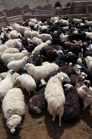Goat and sheep grazing Stock Photo - 14702582
