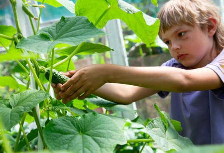 The boy plucks a cucumber in the garden