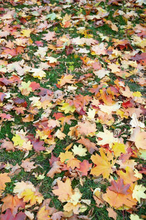 Maple, and not only leaves in the autumn lawn with green grass photo
