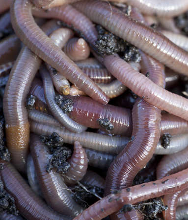 Huge amount of earthworms close to fishing Stock Photo - 15822400