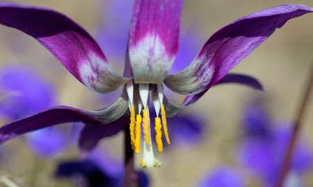 mayflower: Mayflower. Erythŕonium  beautiful flower spring forest