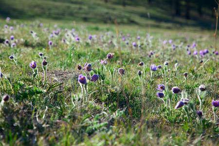 purple Pulsatilla Grandis spring on the slopes of the Altai Mountains photo