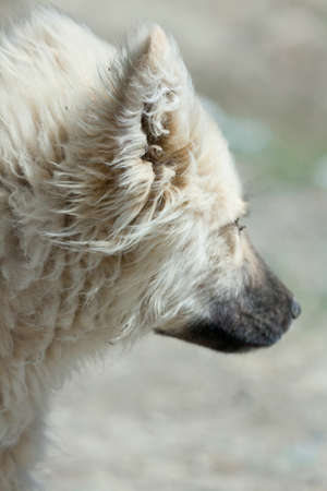 herding dog: Herding dog in the mountains of Asia Stock Photo