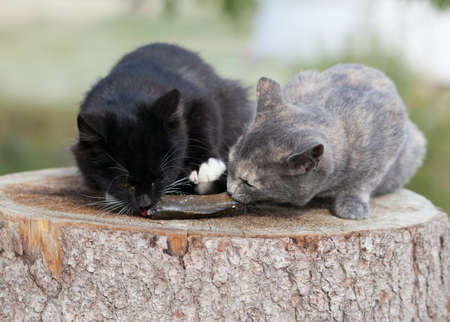 Two kittens eat fresh fish. Stock Photo - 16872445