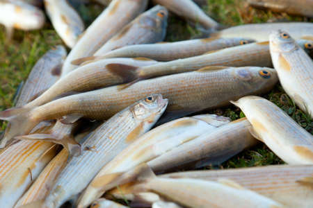 grayling: Grayling, a rare and tasty fish lives in the mountain rivers Stock Photo