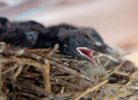 Blackbird Chick Seeking to be Fed photo