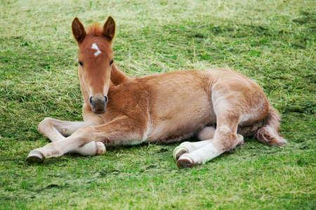 jeune: Little foal lying on green grass Stock Photo