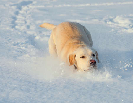 Ritriver Labrador in the snow in winter Stock Photo - 17285632