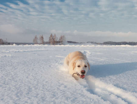 Ritriver Labrador in the snow in winter Stock Photo - 17285631
