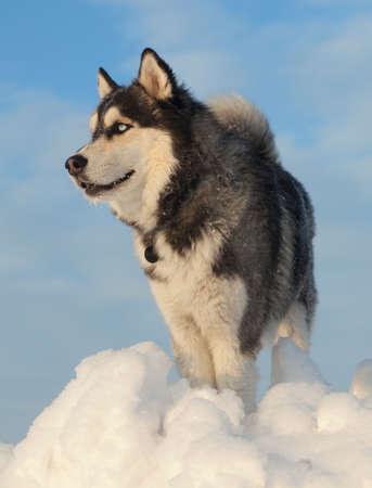 Male Husky in a snowy field in winter in Siberia