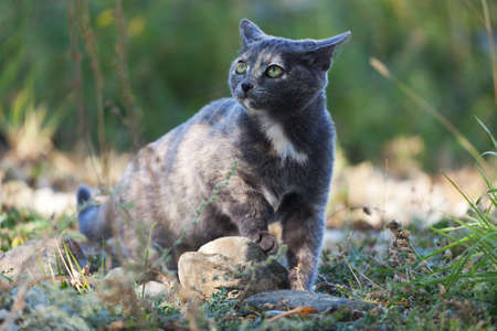 queen blue: Spotted blue cat in the green outdoors Stock Photo