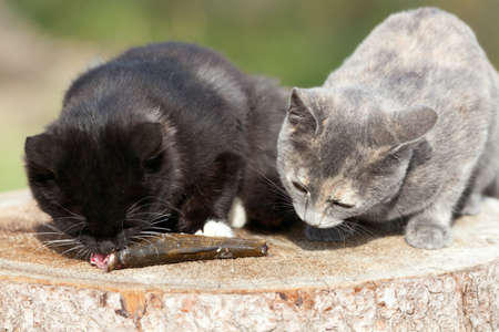 Two kittens eat fresh fish. Stock Photo - 17656969