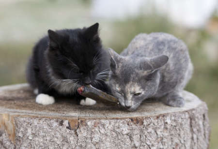 Two kittens eat fresh fish. Stock Photo - 17653369