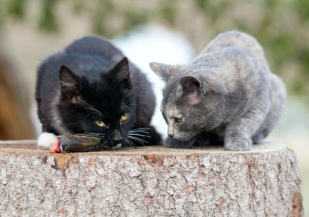 Two kittens eat fresh fish. Stock Photo - 17653448