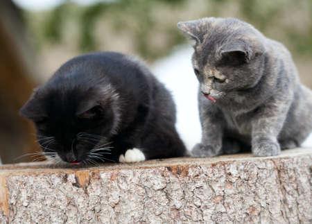 Two kittens eat fresh fish. Stock Photo - 17771658