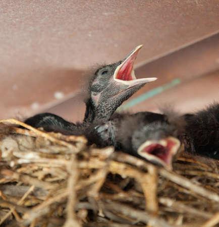 fledgling: Blackbird Chick Seeking to be Fed Stock Photo