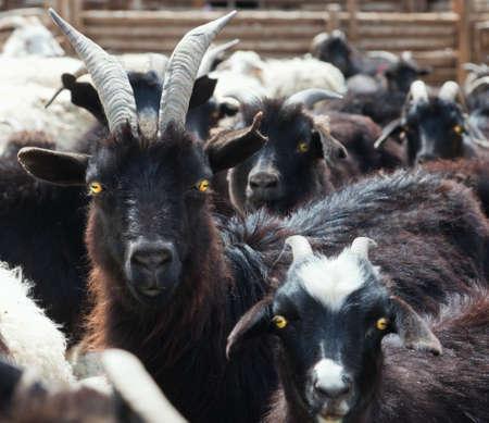 sheepfold: Goat and sheep grazing Stock Photo