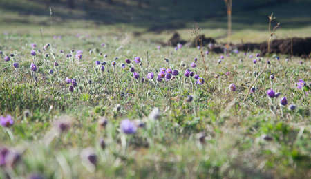 botan: purple Pulsatilla Grandis spring on the slopes of the Altai Mountains Stock Photo