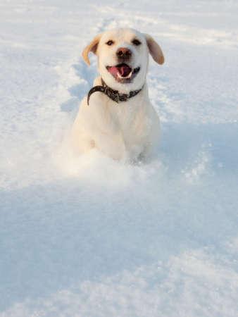 Ritriver Labrador in the snow in winter